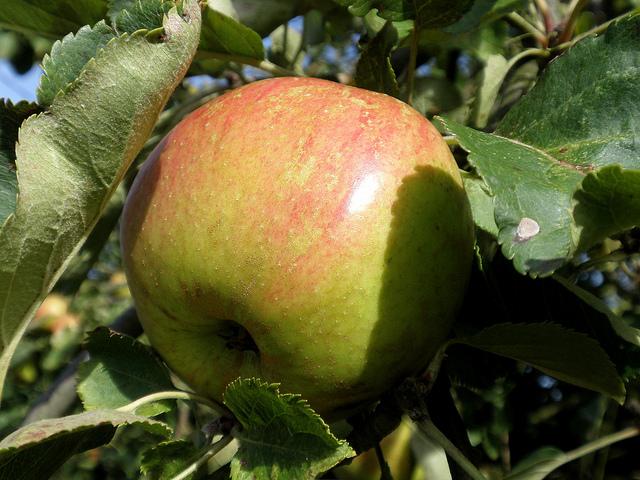 A gyümölcsfák közül az alma a legjobb választás