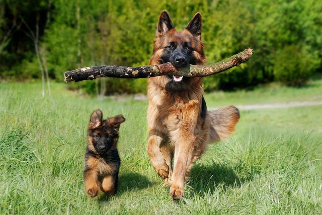 Minőségi Orijen kutyatápok kicsiknek és nagyoknak